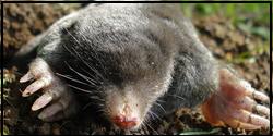 Mole Removal Woodbridge