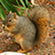 squirrel-icon